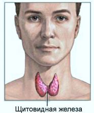 фото: щитовидная железа